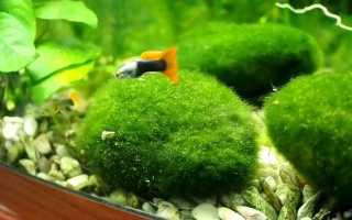 Виды водорослей в аквариуме
