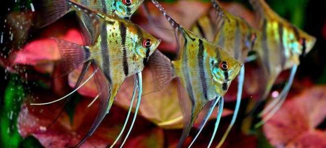Сколько живут аквариумные рыбки скалярии?