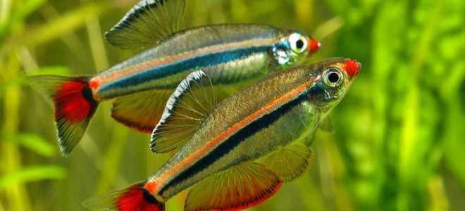 Кардинал – холодноводная рыбка с неоновой полоской
