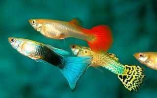 ТОП-10 лучших аквариумных рыбок для начинающих