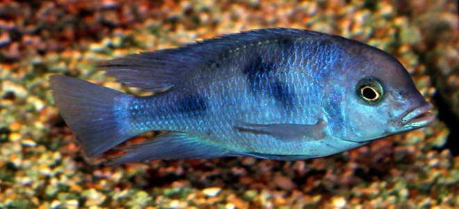 Голубой дельфин: уход, содержание, размножение
