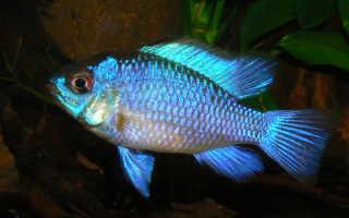 Наннакара неоновая (блю неон) — содержание в аквариуме