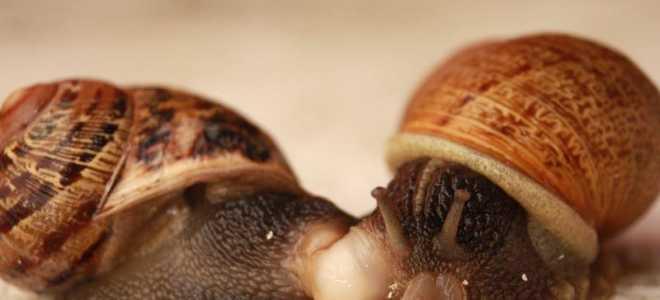 Как улитки размножаются в аквариуме?