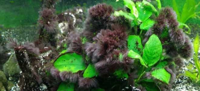 Как избавиться от вьетнамки в аквариуме?