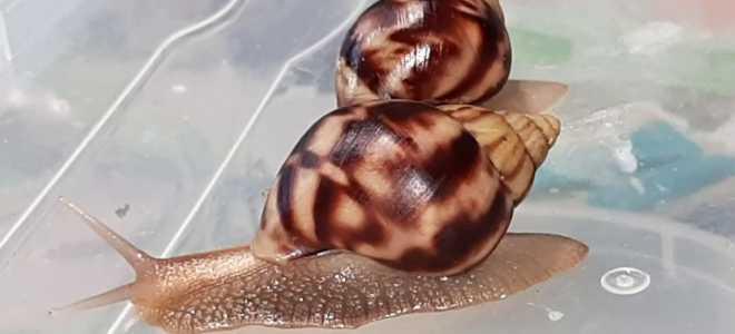 Как обустроить аквариум для улиток ахатин