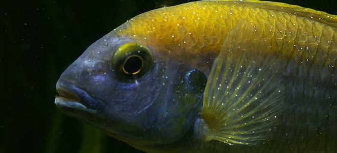 Лечение белых точек (манки) на рыбках