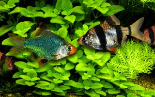 Барбусы — совместимость с другими рыбами