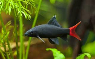 Аквариумная рыбка лабео и ее популярные виды