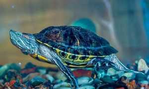 Заболевания красноухих черепах и их лечение