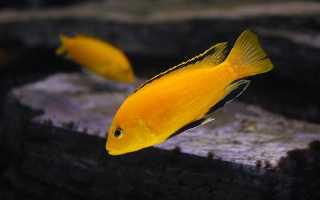 Аквариумная рыбка лабидохромис еллоу и ее содержание