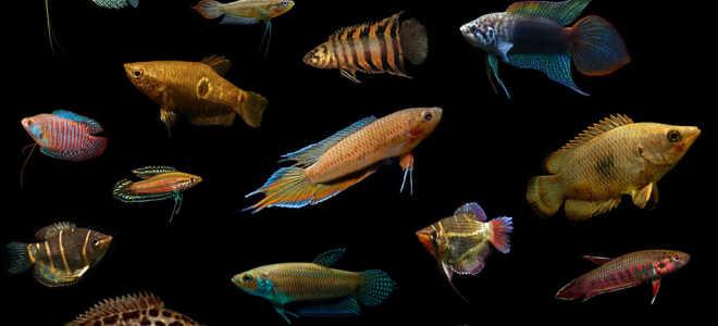 Лабиринтовые рыбки: список видов