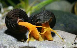 Улитки в аквариуме — помощники или вредители?