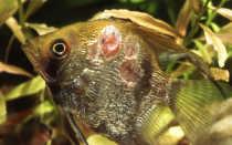 Болезни аквариумных рыбок, их симптомы и лечение