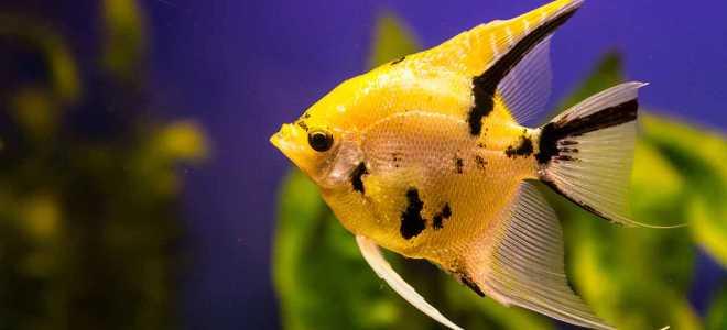 Уход и содержание скалярий в аквариуме