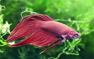 Сколько живут рыбки петушки