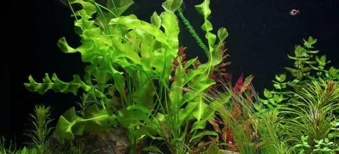 Апоногетон в аквариуме, его виды и содержание