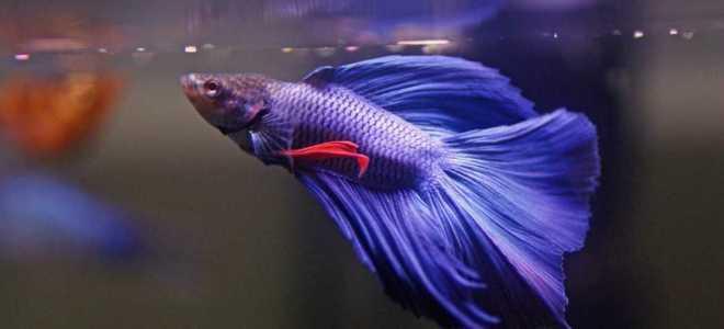 Рыбка петушок: особенности размножения