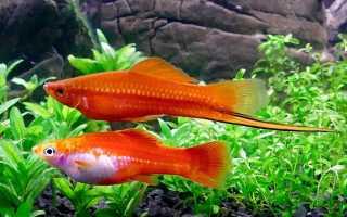 Рыбка меченосец — правила содержания в аквариуме