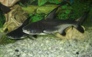 Акулий сом пангасиус содержание в аквариуме