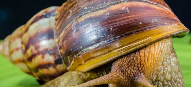 Сколько живут улитки ахатины в домашних условиях?
