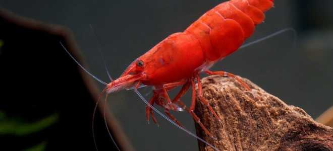 Креветки вишни уход и содержание в аквариуме