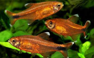 Аквариумные рыбки Тетра и уход за ними