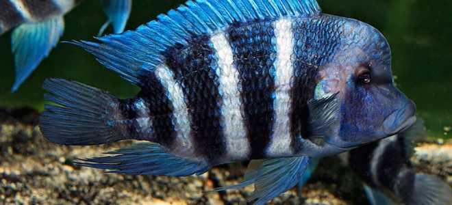 Фронтоза- содержание рыбки в аквариуме