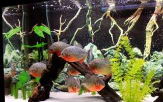 Популярные хищные аквариумные рыбки
