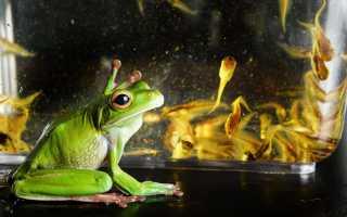 Содержание и уход за аквариумными лягушками