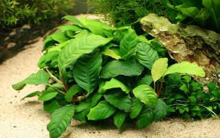Аквариумное растение анубиас и его содержание