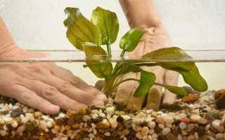 Как сажать аквариумные растения?